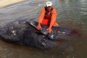 Cận cảnh cá voi xám hai đầu, hai đuôi kỳ quái