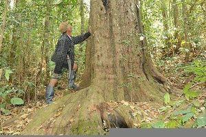 Người bảo vệ quần thể thông đỏ quý hiếm bậc nhất Việt Nam