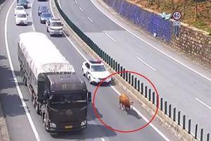 Bò lạc chủ lang thang trên cao tốc đầy xe ở Trung Quốc