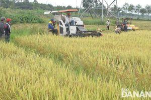 Đà Nẵng: Khẩn trương thu hoạch lúa hè thu ứng phó với 2 áp thấp nhiệt đới