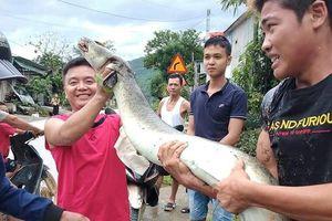 Cá lệch dài 2 mét chết trôi trên sông, người dân vớt đem bán 5 triệu đồng