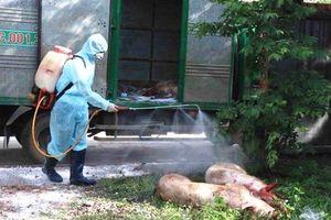 Hà Nội: 177 cơ sở chăn nuôi lớn có lợn bị tiêu hủy do dịch tả châu Phi