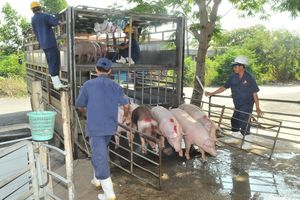 'Thủ phủ' chăn nuôi heo: Không mạo hiểm tái đàn
