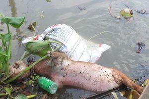 Phạt nặng nếu vứt heo chết xuống sông