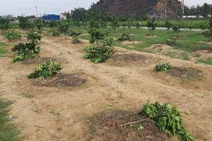Chặt phá vườn bưởi của gia đình chủ tịch xã để trả thù cho đội bóng chuyền