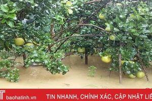 Người trồng bưởi Phúc Trạch có nguy cơ bị mưa lũ 'cướp' mất hàng trăm tỷ