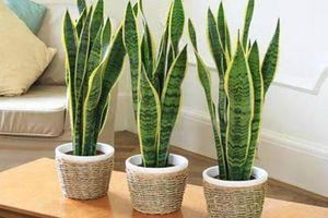 7 loại cây nên trồng trong nhà, không khí ô nhiễm đến mấy cũng được lọc sạch