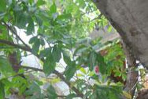 Chuyện về gốc Sa la ở Phật Quang tự, Rạch Giá
