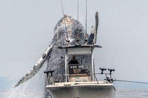 Cá voi lưng gù khổng lồ bay trên mặt nước sát thuyền du khách