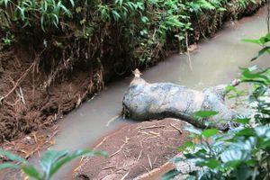 Điều tra và xử lý nghiêm tình trạng vứt lợn nhiễm bệnh xuống suối