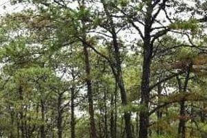 Đắk Nông: Gần 400 cây thông bị 'bức tử' bằng hóa chất