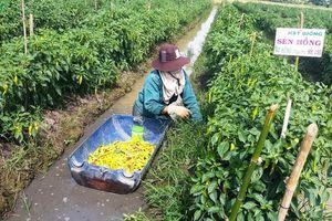 Nông dân vùng Đồng Tháp Mười 'đổi đời' nhờ ớt trúng mùa, trúng giá