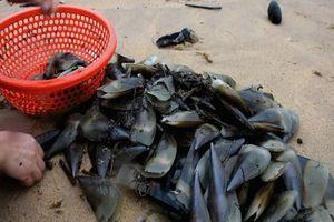 Người dân đổ ra biển nhặt cả tấn vẹm dạt bờ