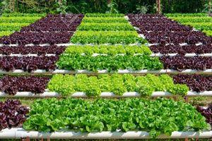 Nông nghiệp hữu cơ gặp khó trong sản xuất và tiêu thụ