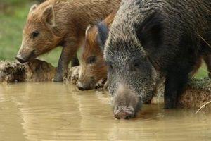 Đảo thiêng của Malaysia bị lợn rừng 'xâm lược' và tàn phá