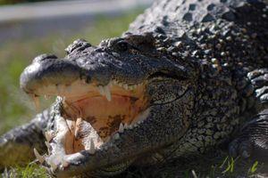 Choáng váng săn 'siêu cá sấu' nặng 317kg, phá kỷ lục