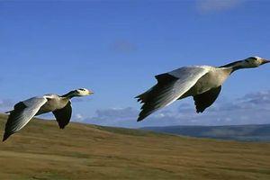 Điều đặc biệt giúp ngỗng đầu sọc có thể bay ở độ cao gần 8.000 mét
