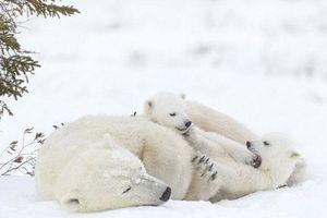 Ngộ nghĩnh cảnh gấu Bắc Cực con cố đánh thức mẹ