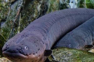Loài lươn điện mạnh nhất thế giới nào có thể phóng ra 860 volt?