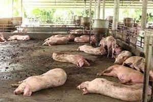 Đồng Nai: Mới chi trả 91/800 tỷ đồng hỗ trợ thiệt hại do dịch tả lợn châu Phi