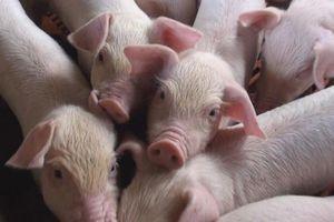 Bộ trưởng Nông nghiệp: Khống chế xong dịch mới tính xuất khẩu thịt lợn