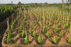 Gia Lai gỡ khó cho người trồng tiêu