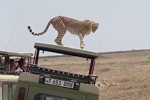 Báo săn nhảy lên xe, quan sát du khách
