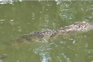 Sự thật thông tin cá sấu lớn nổi đầu trên sông ở Cà Mau