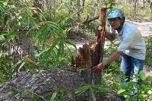 Gia Lai: Hơn 1.200 ha rừng bị xóa sổ do đâu?