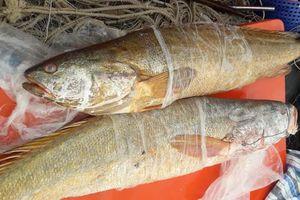 Ngư dân chưa chịu bán cặp cá sủ vàng nặng 70 kg với giá 70 triệu