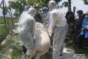 Nghệ An: 6 tháng tiêu hủy trên 1,1 nghìn tấn lợn bị dịch