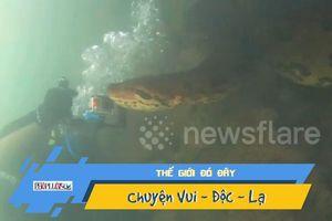 Chạm trán trăn Anaconda khổng lồ dưới đáy sông