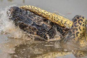 Ảnh động vật: Trăn khổng lồ quyết chiến, ếch vàng chào đời...
