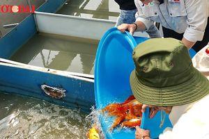 Đàn cá Koi Nhật Bản 'chuyển khẩu' đến sông Tô Lịch