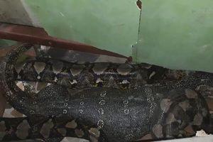 Bị trăn khủng nuốt vào bụng, kỳ đà dài 1,2 mét sống sót thần kỳ