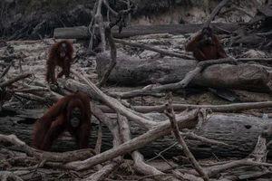 Sự thật đẫm nước mắt sau hình ảnh những con đười ươi trơ trọi giữa cánh rừng cháy