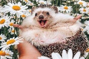 Chú nhím 'hạnh phúc nhất thế giới' đạt mốc 1,5 triệu người theo dõi