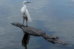 Chim liều lĩnh đứng trên lưng cá sấu