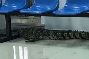 Cá sấu dài 2 m nằm bất động ở khu dân cư gây sốc