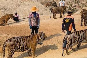 Hàng chục con hổ chết khi đưa khỏi ngôi chùa Thái Lan