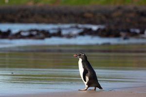 Chim cánh cụt bơi 2.500 km đến Australia được thả về tự nhiên