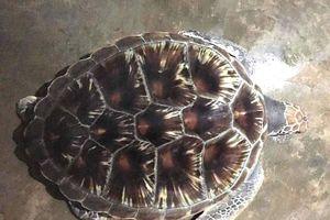 Nghệ An thả rùa quý hiếm 11 kg về biển