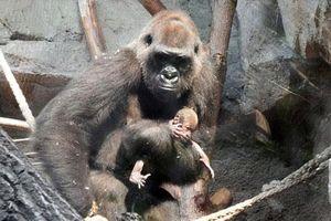 Xót xa nhìn khỉ đột mẹ đau vì cái chết của con