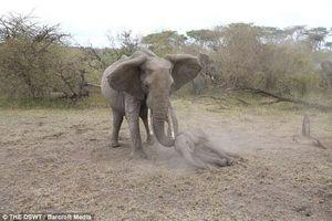 Voi mẹ hung dữ bảo vệ voi con nằm bất tỉnh