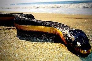 Giải mã tài nhịn uống nước cực đỉnh của rắn biển