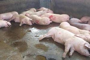 Dịch tả lợn Châu Phi 'tấn công' Trung tâm giống nông nghiệp Cà Mau