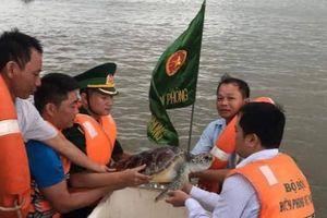 Thả cá thể rùa biển quý hiếm nặng 11 kg trở về với biển