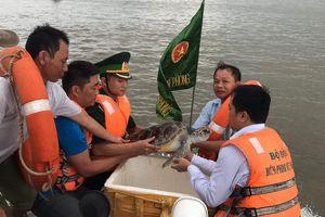 Thả cá thể rùa quý hiếm về biển