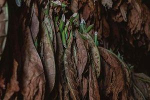 Mỹ biến sinh khối cây thuốc lá thành vật liệu bền chắc