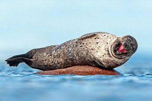 Chết mê khoảnh khắc hải cẩu cười tít mắt